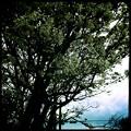 Serviceberry Tree 5-12-15