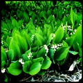 Photos: Lily-of-the-Valley II 5-24-15