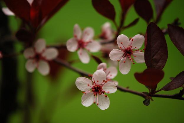 Photos: Purpleleaf Sand Cherry Blossoms