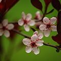 Purpleleaf Sand Cherry Blossoms