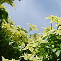 Kousa Dogwood Tree 6-15-11
