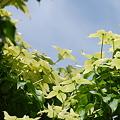 Kousa Dogwood Tree 6-15-11