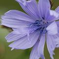 Chicory 8-14-11