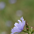 Chicory in the Wind