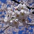 Photos: 桜20120407_01