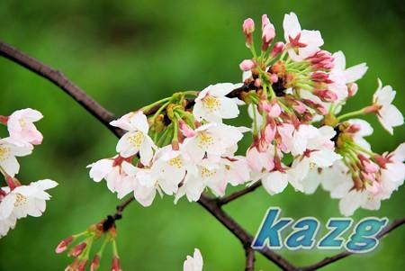 春雨に濡れるソメイヨシノ