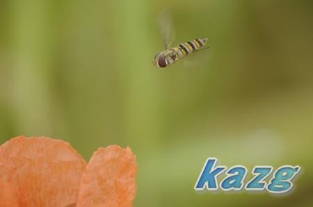 オレンジ色のポピーの周りを飛ぶヒラタアブ