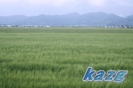 5月の麦畑と遠景
