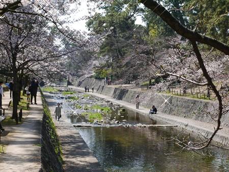 夙川桜 (7)