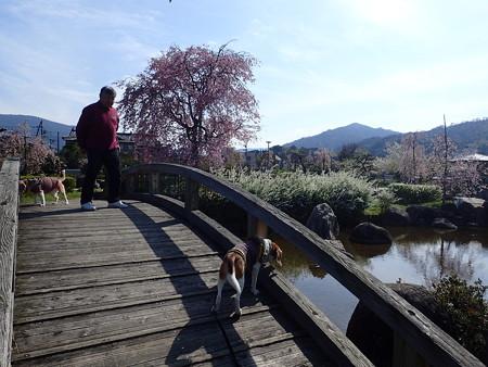 橋とマリうみと父と桜