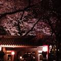 品川の夜桜1