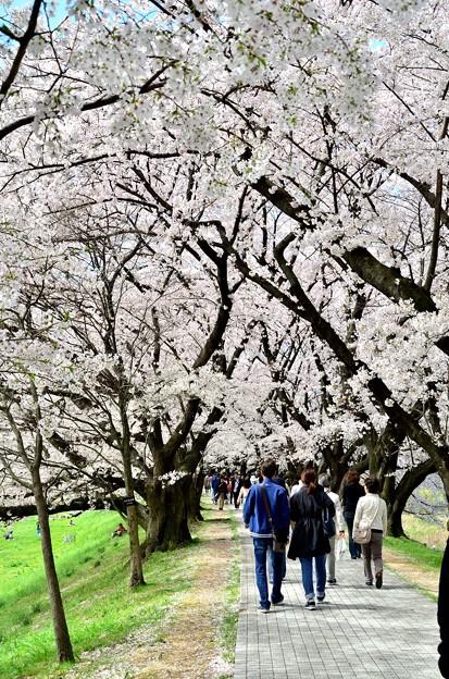 2015_0404_112914_桜のトンネル