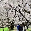 Photos: 2015_0404_112914_桜のトンネル