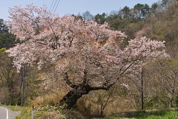 枝ぶりの良い山桜