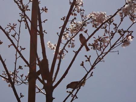 桜の苗木にスズメ
