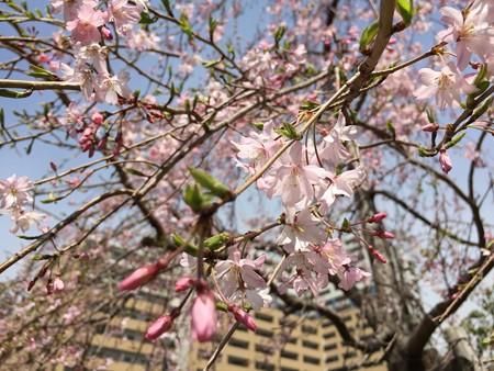 近所の桜01
