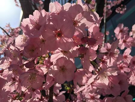 近所の桜02