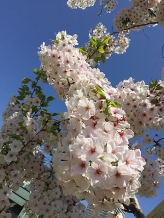 近所の桜08