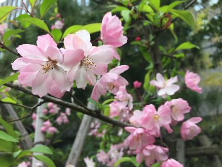 近所の桜09