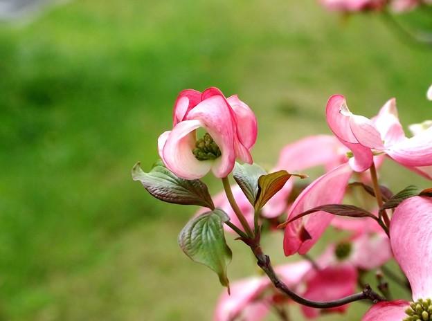 P4223995花水木 ピンク2