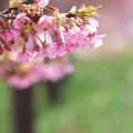 桜花を謳歌
