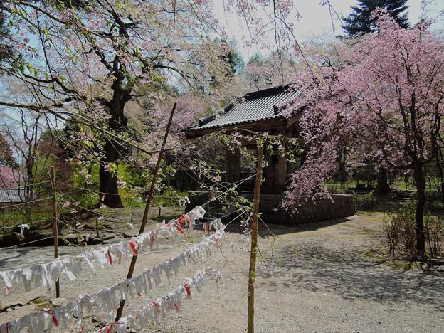 桜に願いを