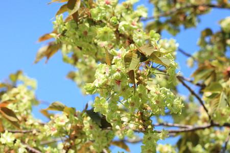 霞城公園 緑の桜 御衣黄2