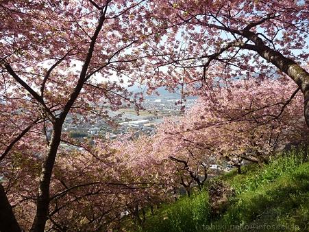 120329-松田山 河津桜 (73)