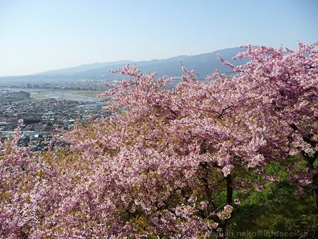 120329-松田山 河津桜 (104)