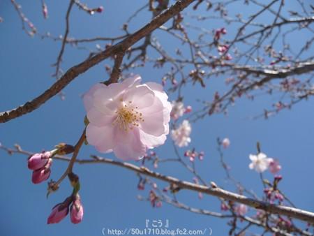 150325-桜 (6)