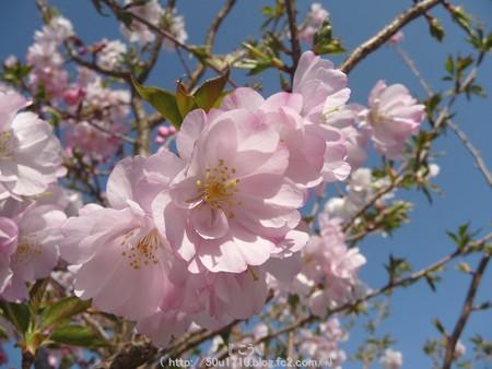 150331-桜 (3)