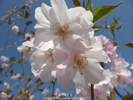 150331-桜 (7)