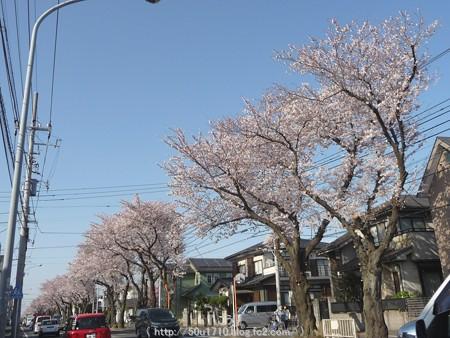 150331-桜 海軍道路 (2)