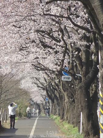 150331-桜 海軍道路 (7)
