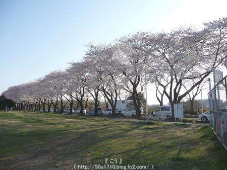 150331-桜 海軍道路 (63)