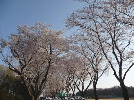 150331-桜 海軍道路 (71)