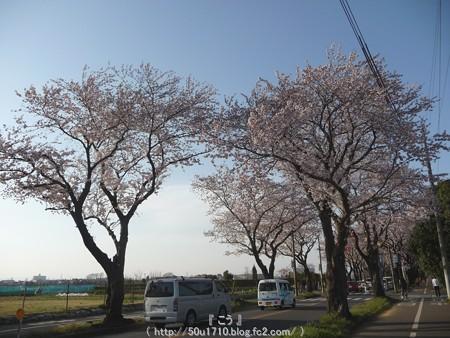 150331-桜 海軍道路 (74)