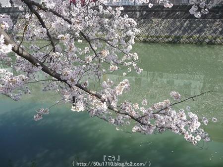150402-桜 大岡川 (30)