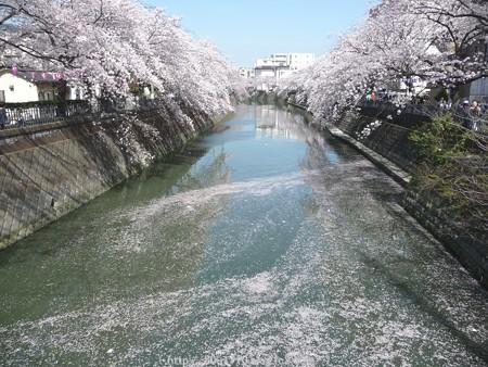 150402-桜 大岡川 (51)