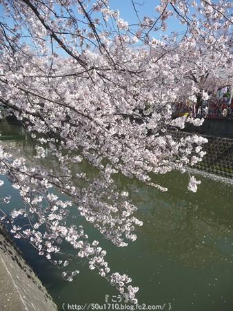 150402-桜 大岡川 (71)