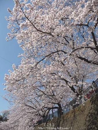150402-桜 大岡川 (83)