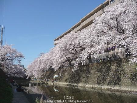 150402-桜 大岡川 (91)