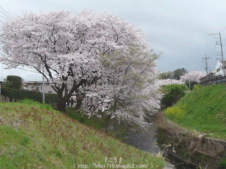 150403-桜 大和千本桜 (14)