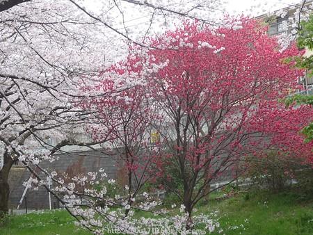 150403-桜 大和千本桜 (18)