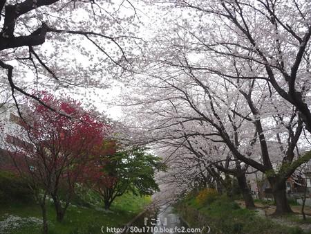150403-桜 大和千本桜 (19)