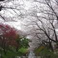 Photos: 150403-桜 大和千本桜 (19)