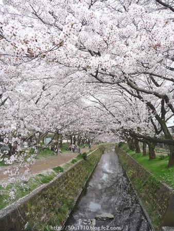150403-桜 大和千本桜 (36)