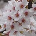 Photos: 150403-桜 大和千本桜 (37)