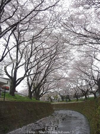 150403-桜 大和千本桜 (49)