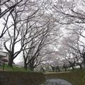 Photos: 150403-桜 大和千本桜 (49)